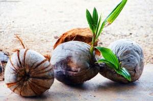 coconut-738144_1280